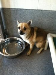 Whiskey is an adoptable Chihuahua Dog in Stratford, CT. Hi, I'm Whiskey! I'm a 1 year old male chihuahua mix. I want to be a lapdog but right now I'm really shy. I'll need a patient loving home and I ...