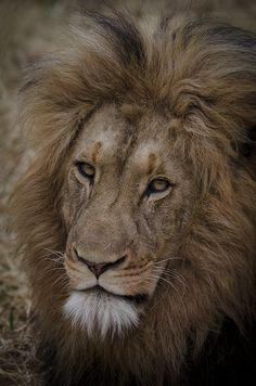 Karongwe's resident lion Sub Zero