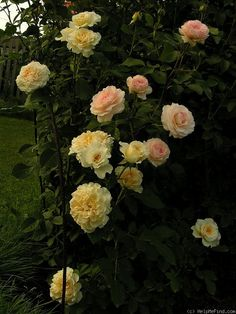 'Countess' Rose Photo