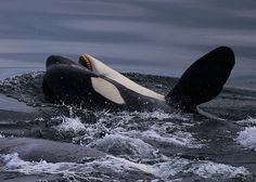 Save The Whales, Wale, Ocean Creatures, Killer Whales, Whale Watching, Ocean Life, Marine Life, Spirit Animal, Dolphins