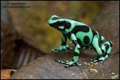 Green and Black Poison Dart Frog » Focusing on Wildlife