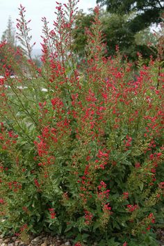 Red birds in a tree, Scrophularia macrantha  moderate to dry water use red, May-frost, sun/part sun perennial