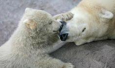 La del oso polar fue la primera de las 70 propuestas de modificación del grado de protección de especies de animales y plantas que se debate...