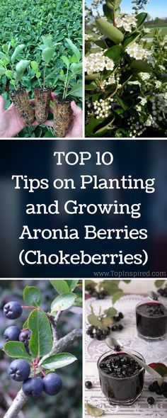 Do you want a super fruit that is super easy to grow? Aronia berries are exactly what you are looking for. Also known as chokeberry, this small shrub is native to Eastern North America that offers acidic, delicious edible berries. They are not only extremely healthy but also very decorative which makes them a great addition to any garden. #aronia via @Topinspired