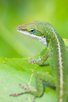 Photograph Green anole lizard by Nicolas Dory on 500px