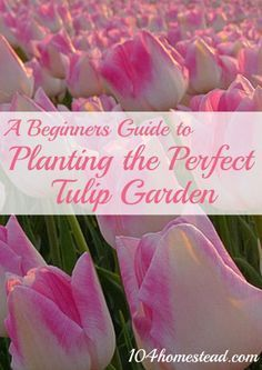 A Beginner Guide to Planting the Perfect Tulip Garden   The 104 Homestead