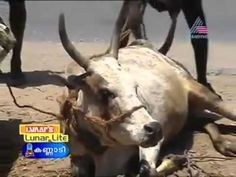 ✦THE BARBARIC TRANSPORTS OF CATTLE IN KERALA (India)✦