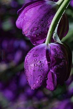 Shallow depth of field Purple Tulips, Purple Love, Tulips Flowers, All Things Purple, Purple Rain, Exotic Flowers, Shades Of Purple, Amazing Flowers, Beautiful Roses
