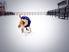 Roxy catching snowflakes by East River Jan 2014. Copyrights Photographer: Jane Drake Hale
