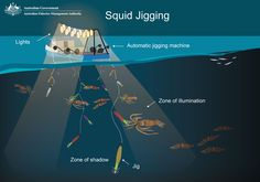 Squid jigging is carried out using mechanically powered jigging machines with 20 to 25 jigs attached to each line. Squid jig vessels operate at night.