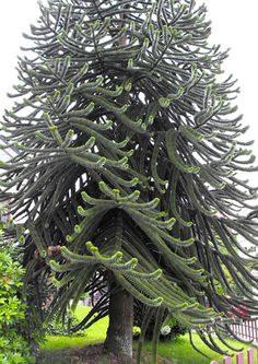 Monkey Puzzle Tree, Bergen, Norway ~ Oh My! I never seen this tree before!