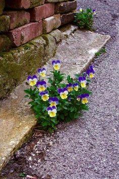- Pansies, love this! Pansies, love this! Rock Flowers, Simple Flowers, Exotic Flowers, Pretty Flowers, Wild Flowers, Blue Flowers, Simple Colors, Johnny Jump Up, Plantation