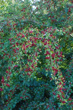 Samhain // Hallowe'en // Day of the Dead - Hawthorn Tree with Red Berries