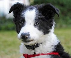 Cooper the Border Collie puppy - cute guy!