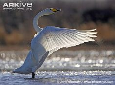 Perfect!  Whooper swan flapping wings on water