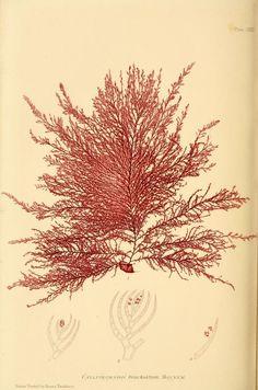 The nature-printed British sea-weeds : a histor...