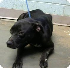 Decatur, GA - American Pit Bull Terrier Mix. Meet Larissa, a dog for adoption. http://www.adoptapet.com/pet/16538845-decatur-georgia-american-pit-bull-terrier-mix