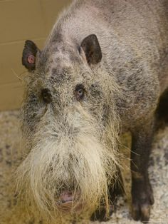 Z Teresko- Bearded pig