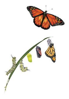 Life cycle of monarch butterfly. , butterfly meaning Butterfly Images, Butterfly Drawing, Butterfly Painting, Butterfly Flowers, Beautiful Butterflies, Butterfly Chrysalis, Butterfly Quotes, Monarch Butterfly Meaning, Butterfly Logo