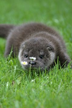 Otter - loutre