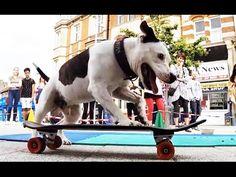 ziggy trixx, il cane che ama andare sullo skateboard