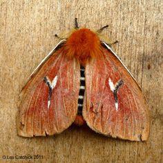 Moth (Cerodirphia mota napoensis) <3!