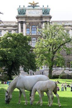 Lipizzaner horses in Vienna Lippizaner, Spanish Riding School, Neoclassical Architecture, Baroque Design, Heart Of Europe, Vienna Austria, Salzburg, Modern Buildings, Im In Love