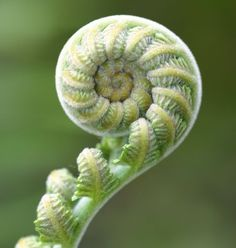 Koru - unfolding the fiddlehead fern .In New Zealand, the Maori see the Koru is a tohu (symbol) of divine inspiration from nature Unusual Flowers, Wonderful Flowers, Rare Flowers, Fractals In Nature, Spirals In Nature, Natural Structures, Natural Forms, Natural Shapes, Photographie Macro Nature