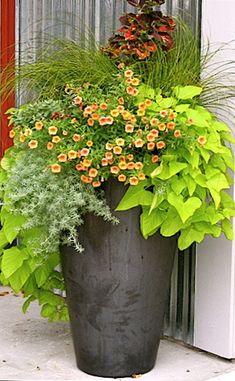 """Pretty mix of plants for your summer patio or deck - Lime Potato Vine, Silver Lotus Vine, orange """"Million Bells"""", Stipa grass, purple Coleus"""