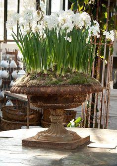 Antique garden urns love the paperwhites