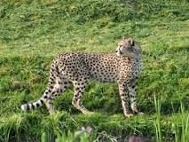 The Sudan cheetah (Acinonyx jubatus soemmeringii) is a cheetah subspecies native to Central and Northeast Africa. It lives grasslands, savannahs, lowlands of the Nile Valley, inland Lake Chad, arid Sahelian and Saharan deserts and steppes. Its population is fragmented in several areas of South Sudan, Ethiopia, Chad, Somalia and the Central African Republic. It is also nearly extinct in Sudan. Other common names are Somali cheetah, Northeast African cheetah or Central African cheetah