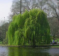 Full sun is best, but not required. Willows are among the fastest growing trees, gaining height by as much as 6 to 8 feet a year. They grow well in USA Zones 4 - 9 and will absorb standing water. If you have trouble with standing water in your yard, try planting a willow tree in that spot. It's a lot less expensive than a landscape overhaul.