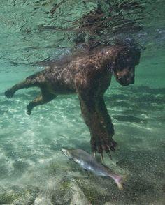 How to Fish, Bear Style (via: Paul Souders)