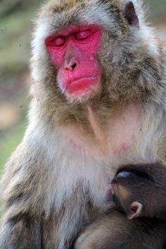 Primates, Kyoto, Voyage Nepal, Monkey Park, Animals, The Visitors, Sunrise, Cow, Animales