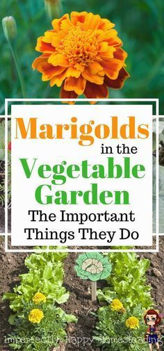 Marigolds in the Vegetable Garden Important Things They Do - 6 Amazing Benefits for gardeners and homesteaders. #vegetablegardening