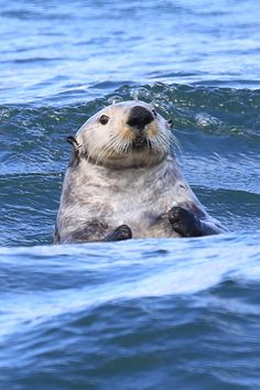 Sea otter bobs with the waves - May 31, 2012