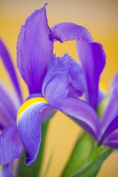iris. photo by narelle sartain