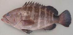 マハタ: 高級魚。一般的にはなかなか見る機会がない。都市部のスーパーなどで売られることはまったくないに等しい。