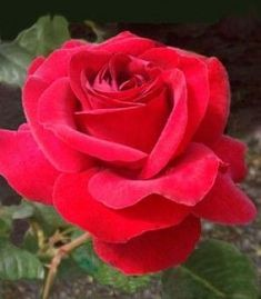 Roses at Heirloom Roses. Your source for rose bushes, rose gardening, and rose plants. Colorful Roses, Red Flowers, Red Roses, Pretty Roses, Beautiful Roses, Red Shrubs, Heirloom Roses, Shrub Roses, Hybrid Tea Roses