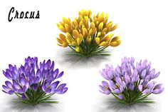 Crocus by AndrewWhite on @creativemarket