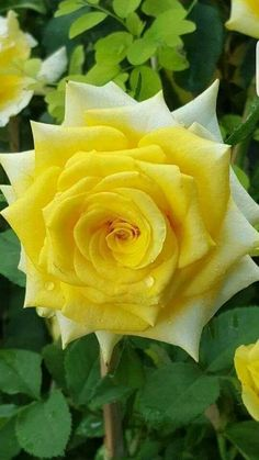 Belleza de Rosa amarilla