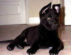 black-german-shepherd-puppy-
