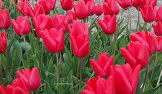Tulipa 'Trance' – geel gebaseerde rode komvormige tulp