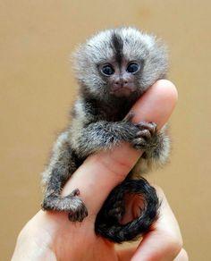 Finger Monkey   So Little, So Cute, Pygmy Marmoset! Also Known As Finger Monkey.