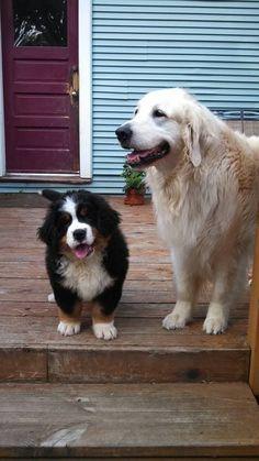 9 week old Bernese Mountain Dog Murphy and his big sister Heidi (golden retriever)!!! ❤ #BerneseMountainDog