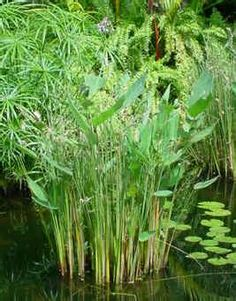 1000 images about aquatic plants from florida pond for Using pond water for plants