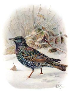 Starling (sturnus vulgaris) John Gerrard Keulemans, from Coloured figures of the birds of the British Islands vol. 2 ~ Thomas Littleton Powys (Lord Lilford), London, 1885-1897