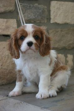small dogs for my daughter...Cavalier King Charles Spaniel....my fave!