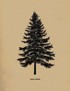 White spruce.