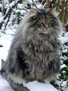 """21 Huge Maine Coon Cats That Will Make Your Kitty Look Tiny! The Maine Coon cat is among the biggest domestic breeds of cats. Actually, the record for the """"longest cat"""" in the 2010 Guinness World Records was achieved by Stewie, with in. Gato Maine, Gatos Maine Coon, Chat Maine Coon, Pretty Cats, Beautiful Cats, Animals Beautiful, Cute Animals, Animals Images, Fluffy Animals"""